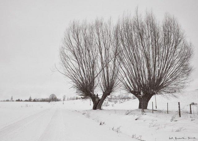 Wierzby zimą